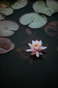 Lily on pond